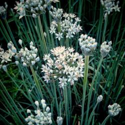 Why You Should Grow Garlic Chives