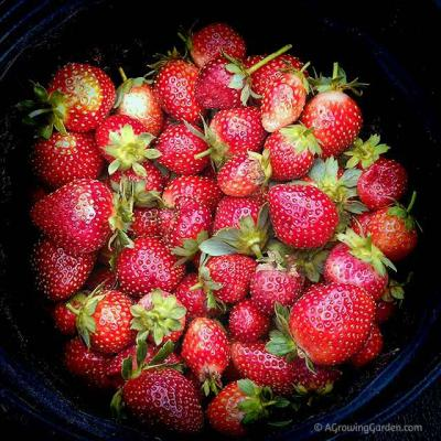 Everbearing Strawberry Update - September 9, 2013