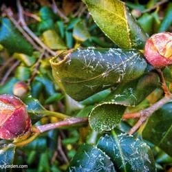 Our Camellia and a Nasty Cold Spell