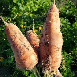 Storing Carrots in the Ground for Winter