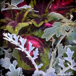 Pairing Coleus with Dusty Miller