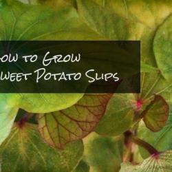 How to Grow Sweet Potato Slips