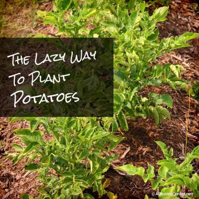 The Lazy Way to Plant Potatoes