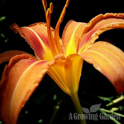 Old Fashioned Daylilies (Hemerocallis Fulva)