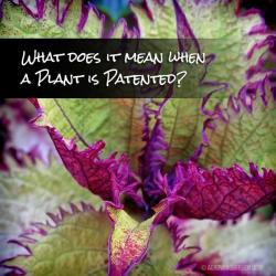What Does it Mean When a Plant is Patented?