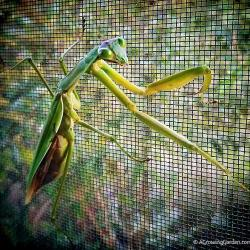 The Praying Mantises are still hanging in there...