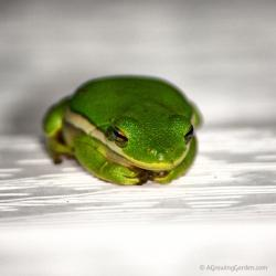 Another Tree Frog ... Just Because