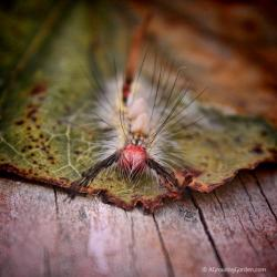 One Weird-Looking Caterpillar: White-marked Tussock Moth